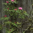 Flowering Woodland Shrub — Stok Fotoğraf #31611739
