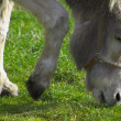 Stock Photo: Gray Donkey Grazing