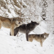 Stock Photo: Three Wolves In Winter