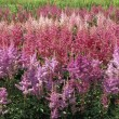 Groups Of Pink Astilbe — Stock Photo