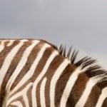 bir zebra — Stok fotoğraf #31613143
