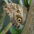 An Owl Moth Resting On A Branch — Stock Photo
