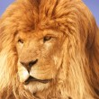 Stock Photo: A Lion