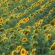 Field Of Sunflowers — Stock Photo #31614007