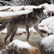 Stock Photo: Wolf in nature