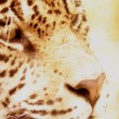 Stock Photo: Leopard's Face