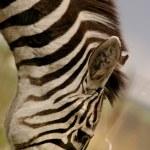 bir zebra — Stok fotoğraf #31615823