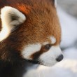 Red Panda — Stock Photo #31616045