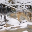 Stock Photo: Wolves Crossing River
