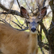 A Mule Deer Doe — Stock Photo