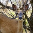 A Mule Deer Doe — Foto de Stock
