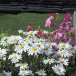Stock Photo: White Daisies And Pink Mallow