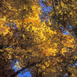 Stock Photo: Canopy Of Autumn Branches