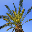 A Palm Tree — Stock Photo