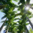Stock Photo: Palm Tree Tops