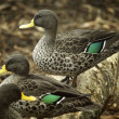 South African Yellow Billed Ducks — Stock Photo #31619149