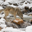 Stock Photo: Wolf Drinking From River