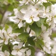 Stock Photo: Cluster Of White Flowers