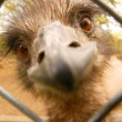 Ostrich (Struthio Camelus) — Stock Photo