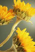 Tournesols jaunes — Photo