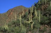 Cacti Growing — Stockfoto