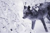 Lone Wolf In Snow — Stock Photo