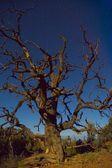 Bristlecone Pine — Stock Photo