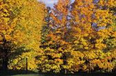 Trees In The Fall — Stock Photo