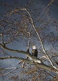 Bald Eagle In A Tree — Stock Photo