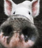Closeup Of A Pig's Nose — Stock Photo