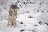 Lone Wolf — Stock Photo