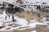 Wolves Crossing A River — Photo