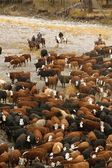 Cowboys On Cattle Roundup Southern Alberta Canada — Foto Stock