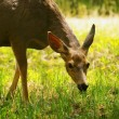 Stock Photo: Deer Grazing