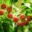 Stock Photo: Close Up Of Holly Plant And Berries