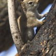 Small Red Squirrel — Stock Photo #31623725