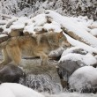 Stock Photo: Wolf Crossing River