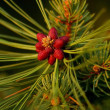 Stock Photo: Coniferous Blossom