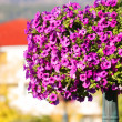Stock Photo: Purple Flowers