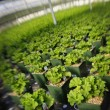 Foto Stock: Commercially Grown Plants In Greenhouse