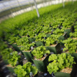 Stockfoto: Commercially Grown Plants In Greenhouse