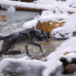 Wolf Crossing River — Stock Photo #31624407