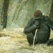 A Gorilla — Stock Photo