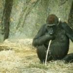 A Gorilla — Stock Photo