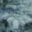 Foto Stock: Fir Tree Branches