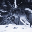 Lone Wolf In Snow — Stock Photo #31625511