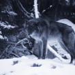 Stock Photo: Lone Wolf In Snow