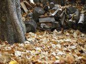 Doğranmış ahşap ve sonbahar yaprakları — Stok fotoğraf
