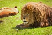 A Lion And Lioness — Stock Photo