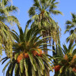 Palm Trees — Stock Photo #31678293